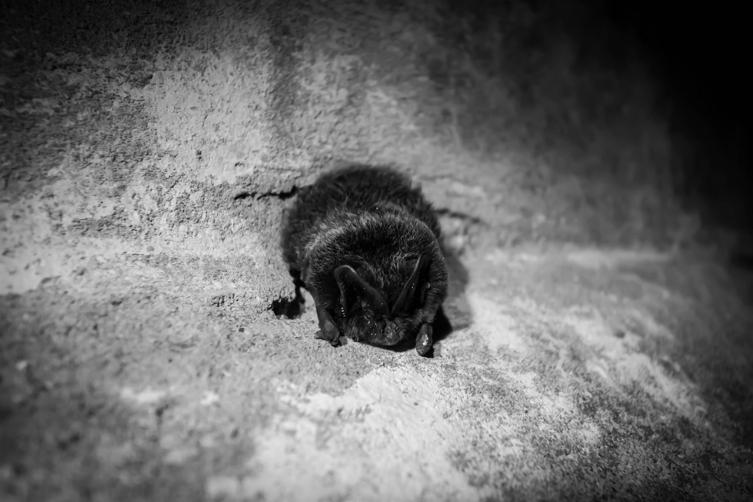 Osamotniony nietoperz