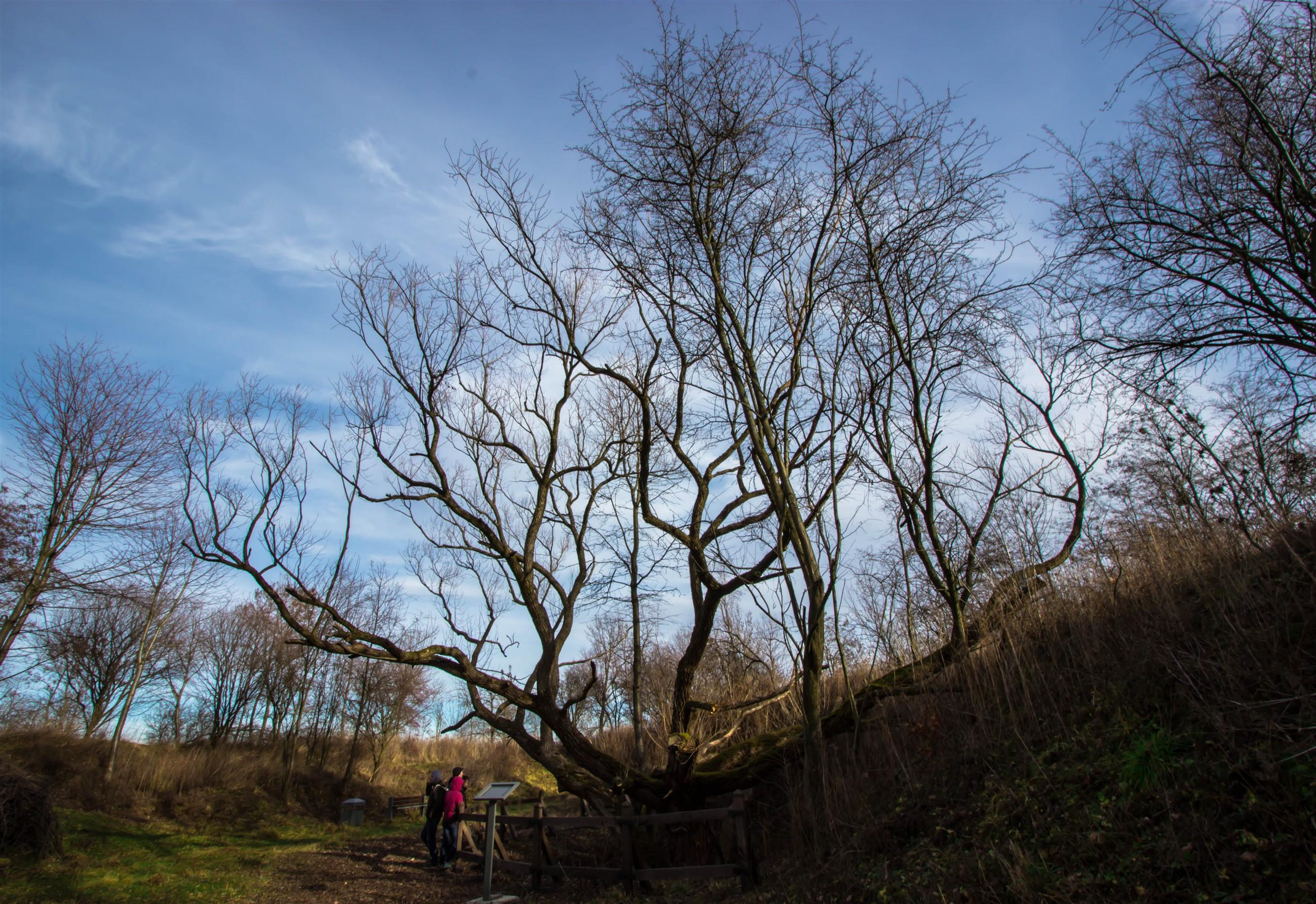 Mega drzewo przy Forcie Xb Zagrodnia