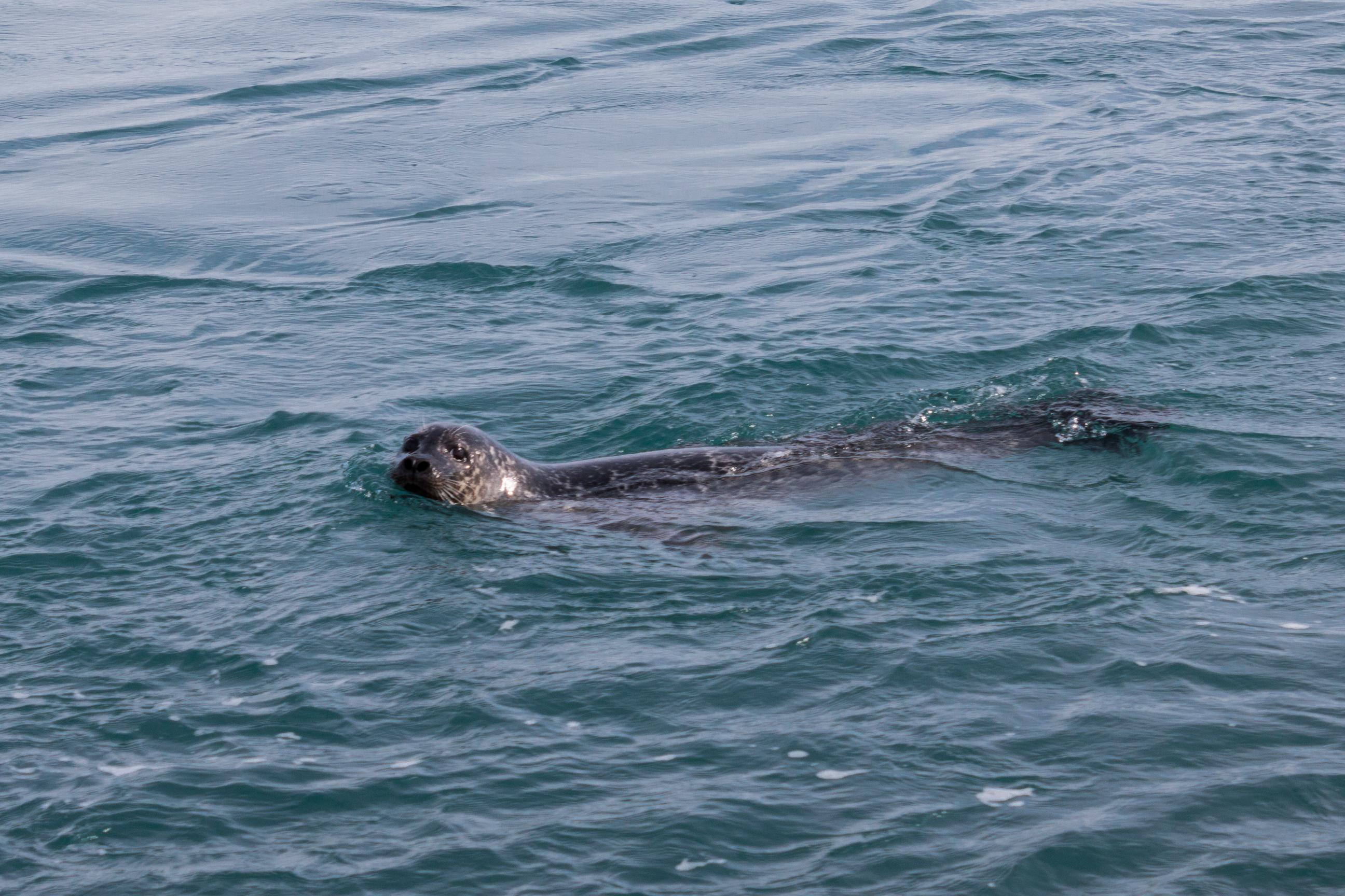 foka w oceanie Atlantyckim
