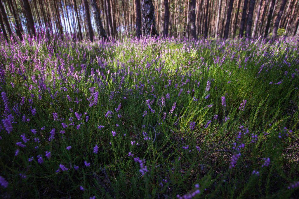 Wrzosy to charakterystyczny element parku w sezonie letnim