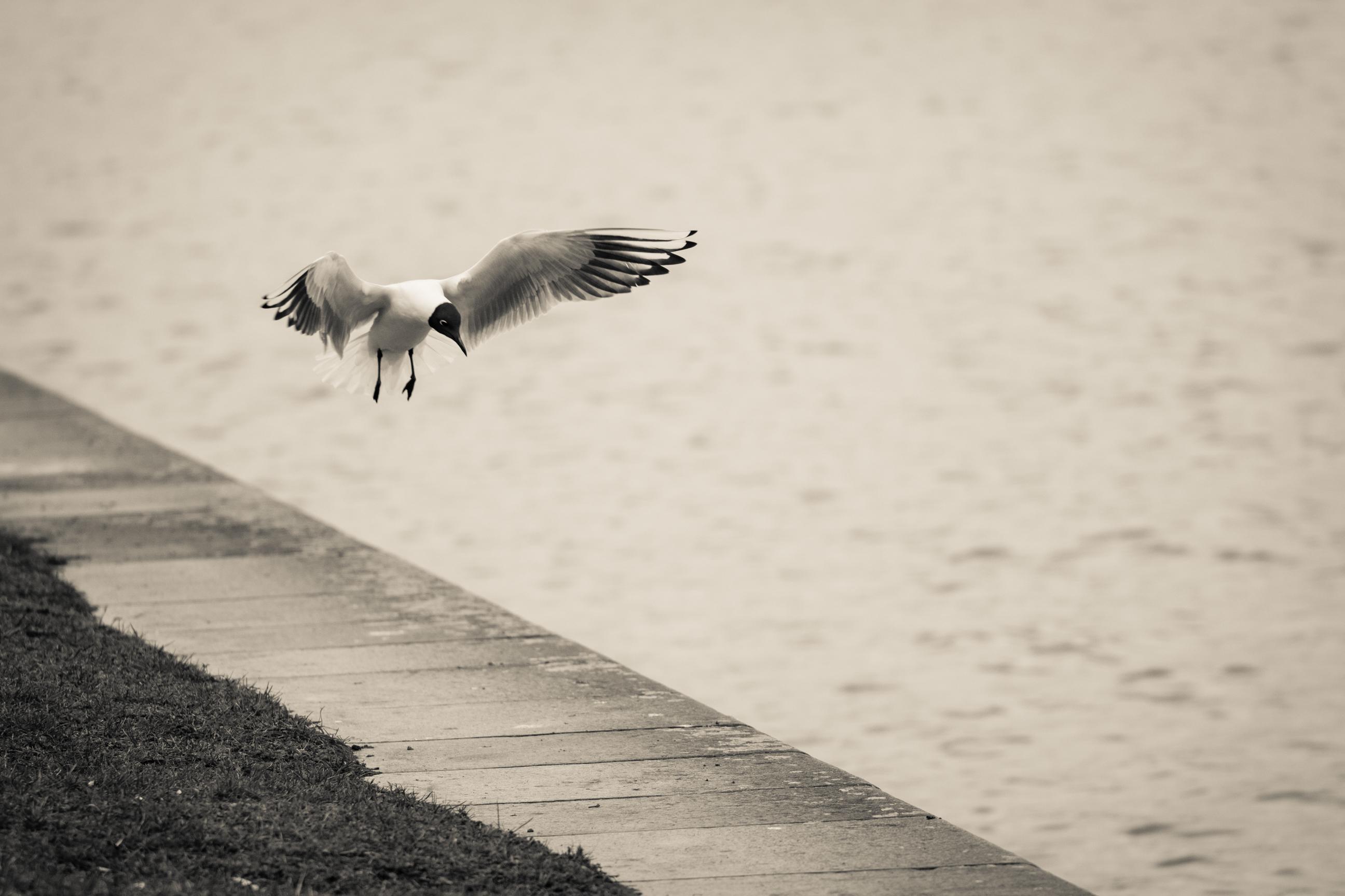 lądujący ptak