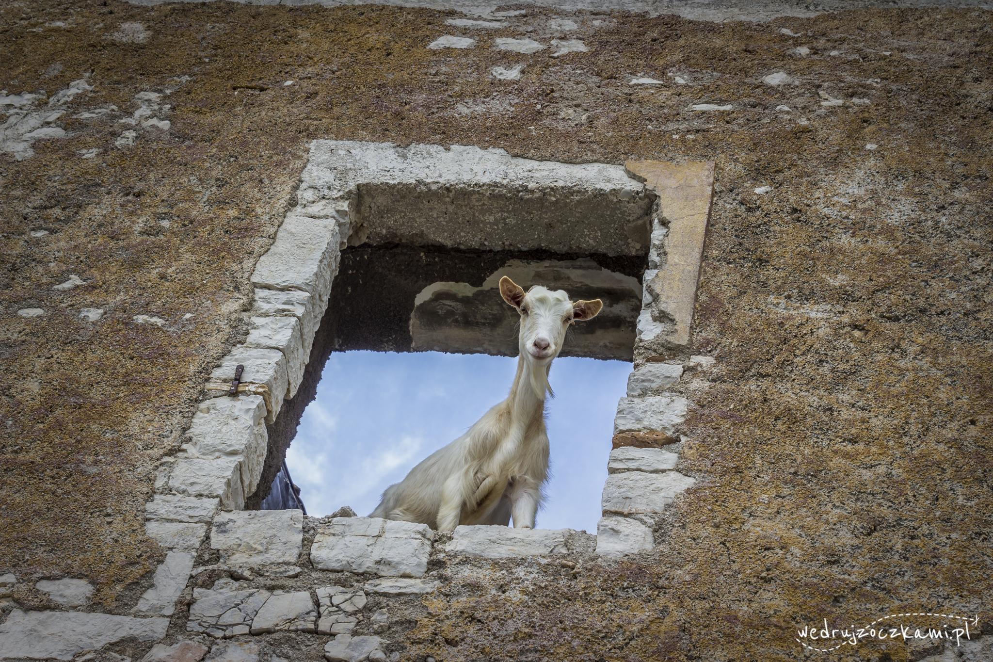 Kozy w Albanii