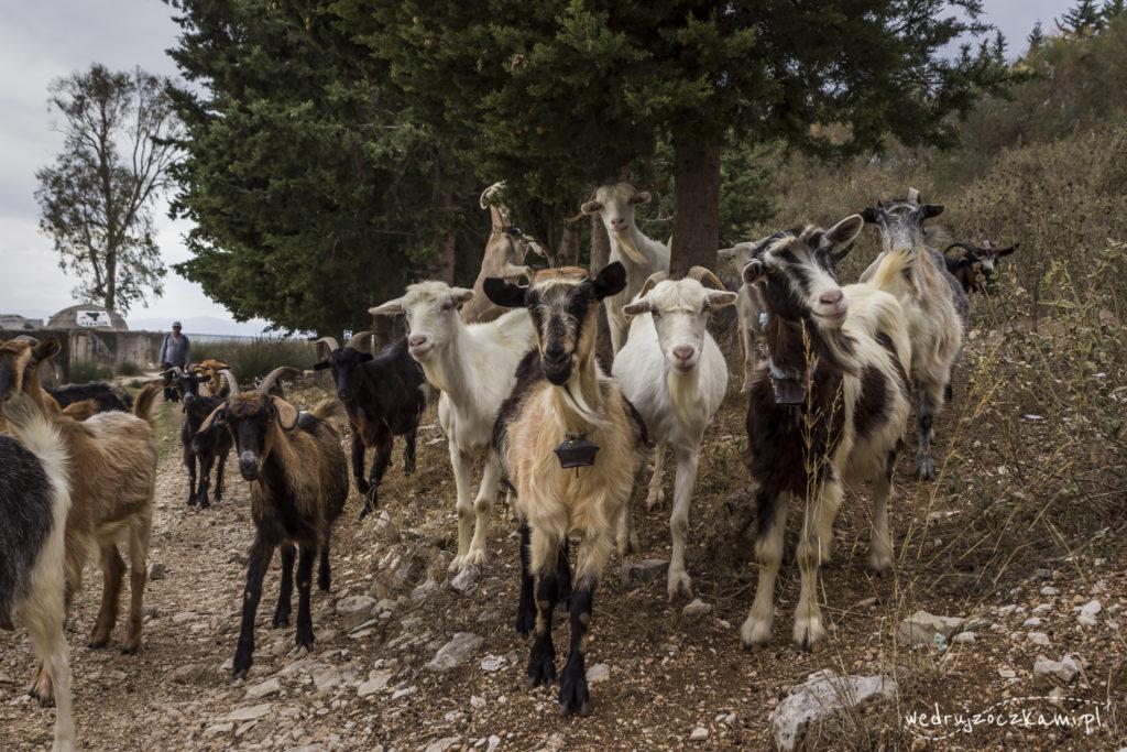 Albańskie kozy