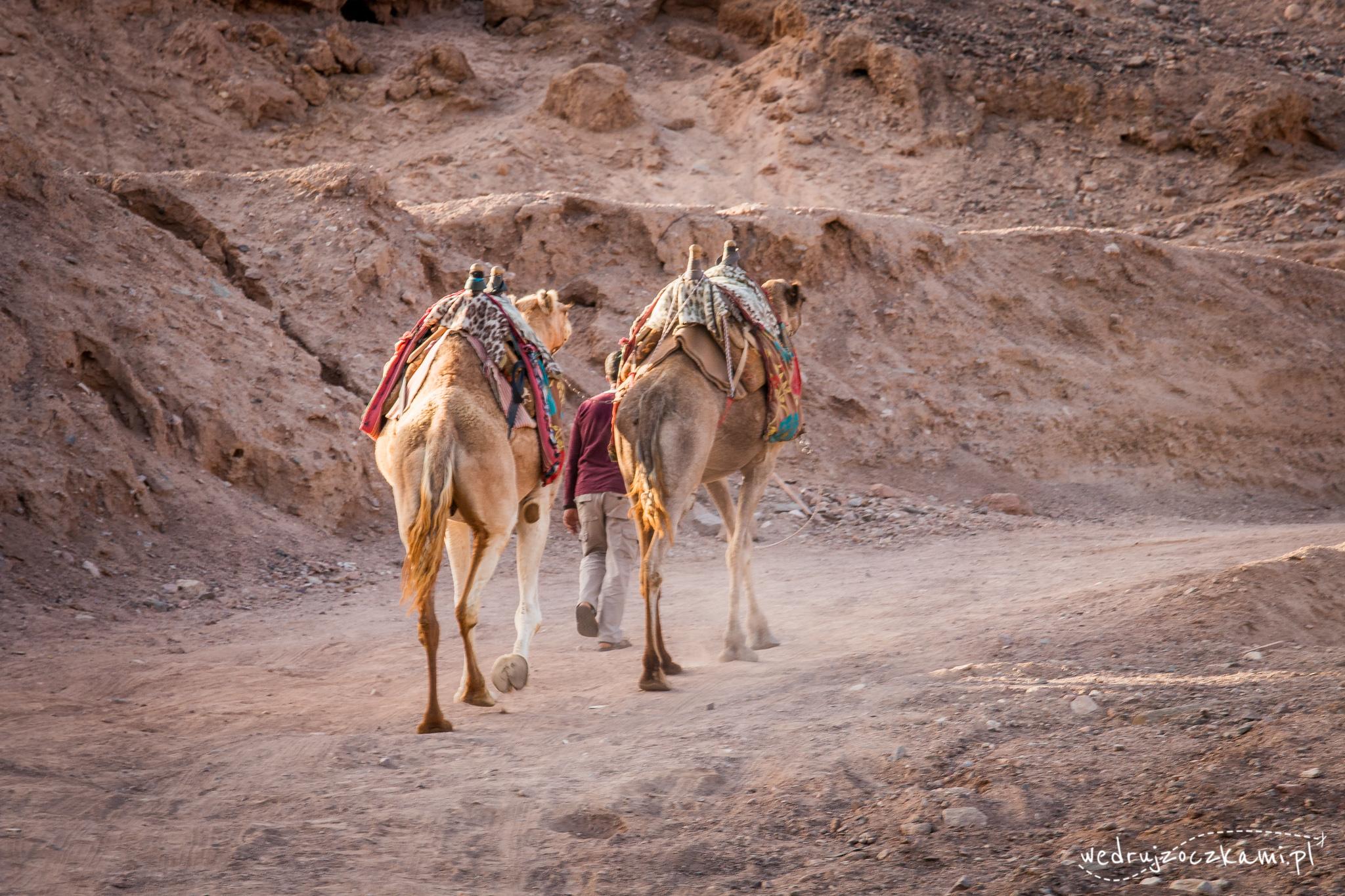 Pierwsze spotkanie z wielbłądami ;)