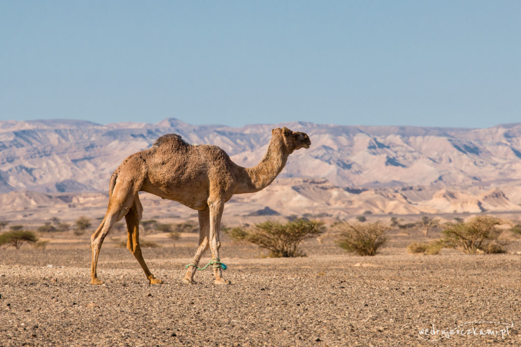 Wielbłąd na pustyni w Izraelu
