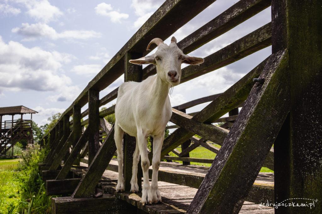 Koza w Narwiańskim Parku Narodowym